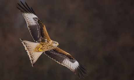 Red-kite-in-flight-007